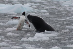 A leopard seal tosses a penguin in the air before eating it. Even wildlife in Antarctica must be savage to survive harsh conditions.