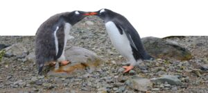Two penguins sharing a beak to beak kiss. Penguins are clumsy on land and graceful in water.