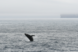 A humpback whale breaches as we depart Antarctica.