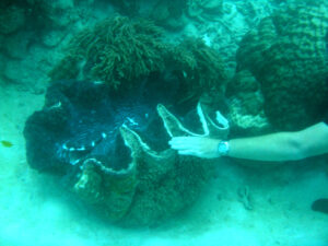 SCUBA diving the Great Barrier Reef will show you the largest clam in the world