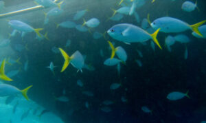 SCUBA diving the Great Barrier Reef brings you close to a school of yellowtail fusiliers