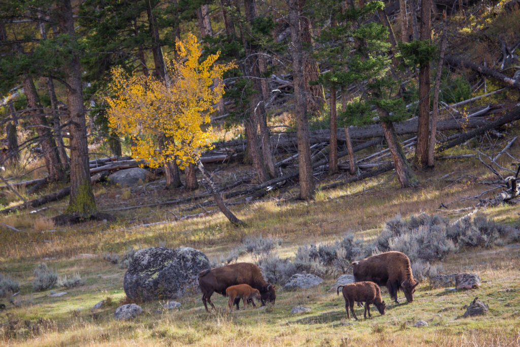bison in Yellowstone National park in the fall