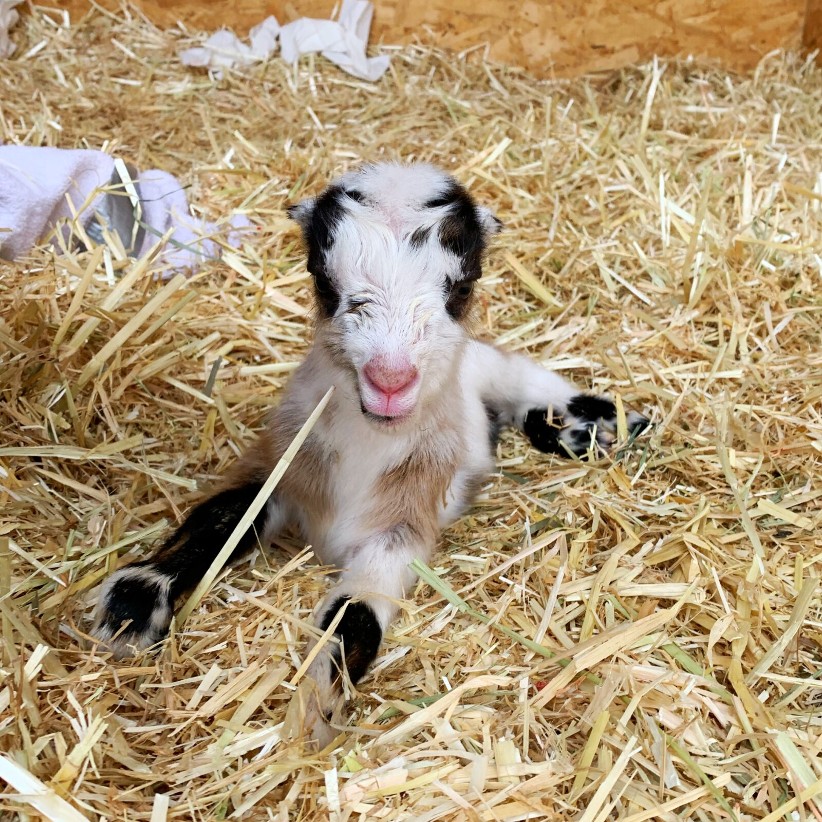baby goat farm homestead