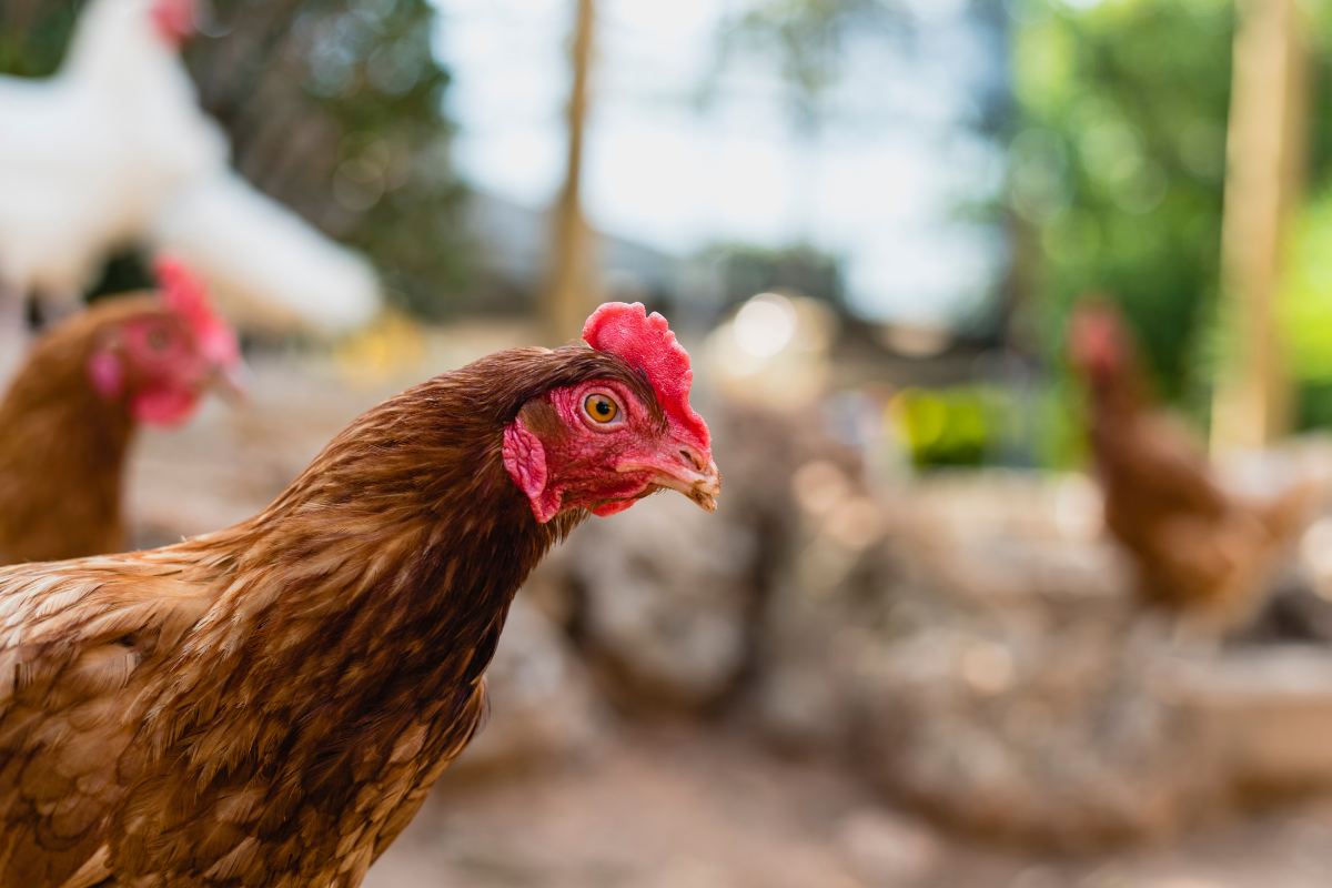 brown hens looking angry