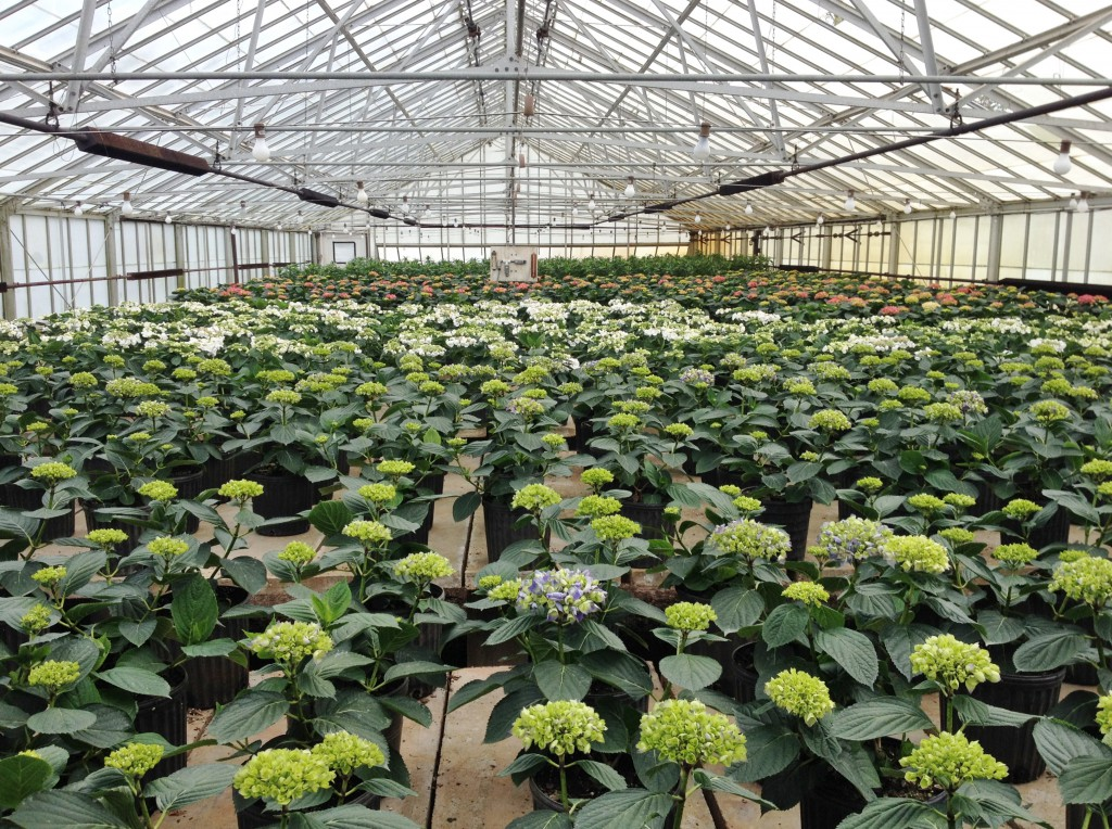 Hundreds of hydrangeas growing in our greenhouses this March.