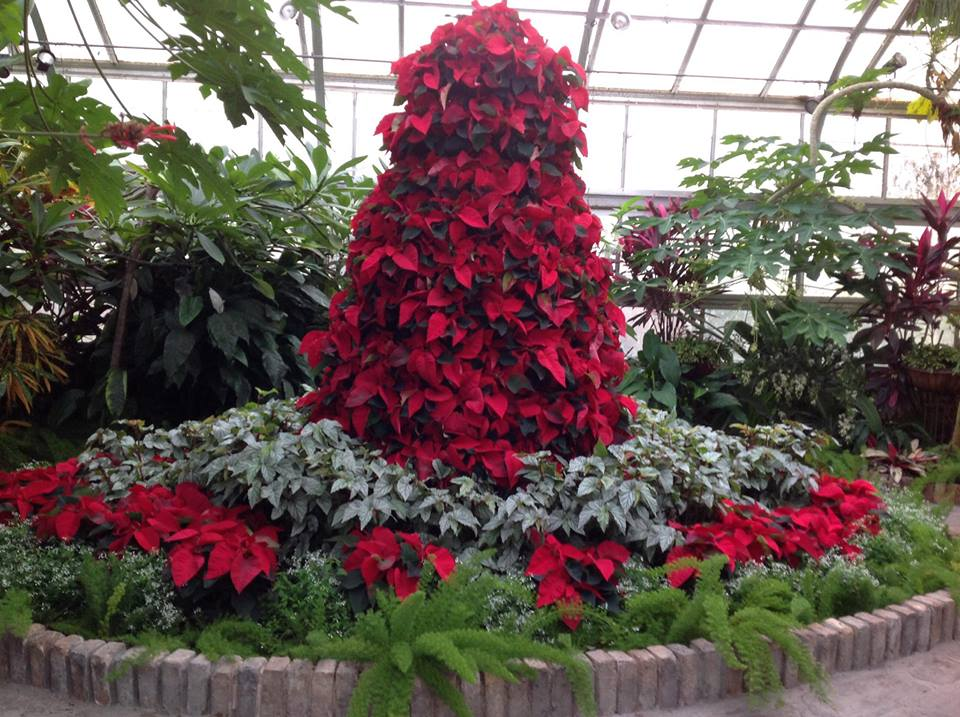 Poinsettias - Conservatory