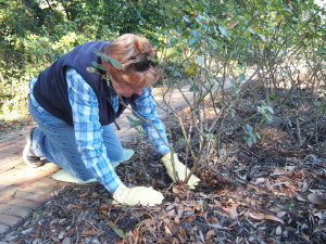 Linda Guy clears away mulch to get a good luck at the base of a bush at the front of the Rose Garden.