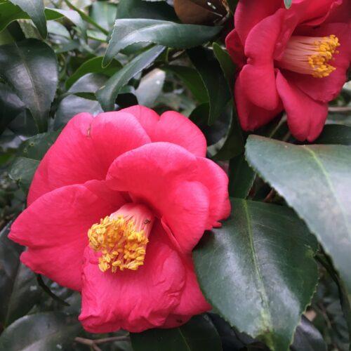 Camellia Japonica 'Bertha Faye Howell'