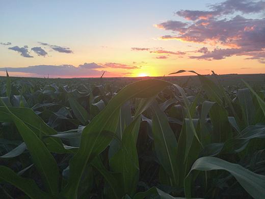 corn at sunrise