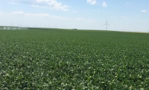 Nebraska Soybean Progress