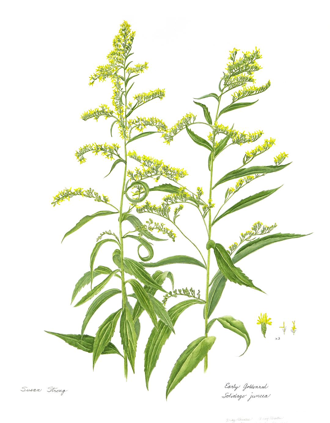 early goldenrod