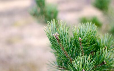 The Uses for Pine Essential Oil
