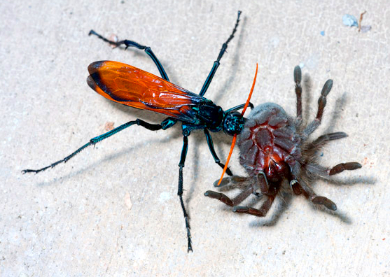 Trantula Hawk Wasp
