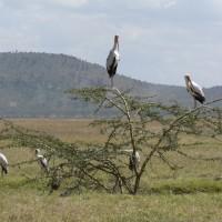 Kenya Wildlife - Birds