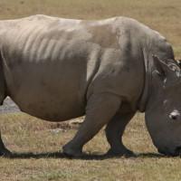 Kenya Rhinocerous
