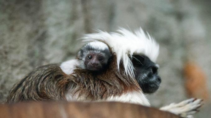 Tamarin Mom and Baby