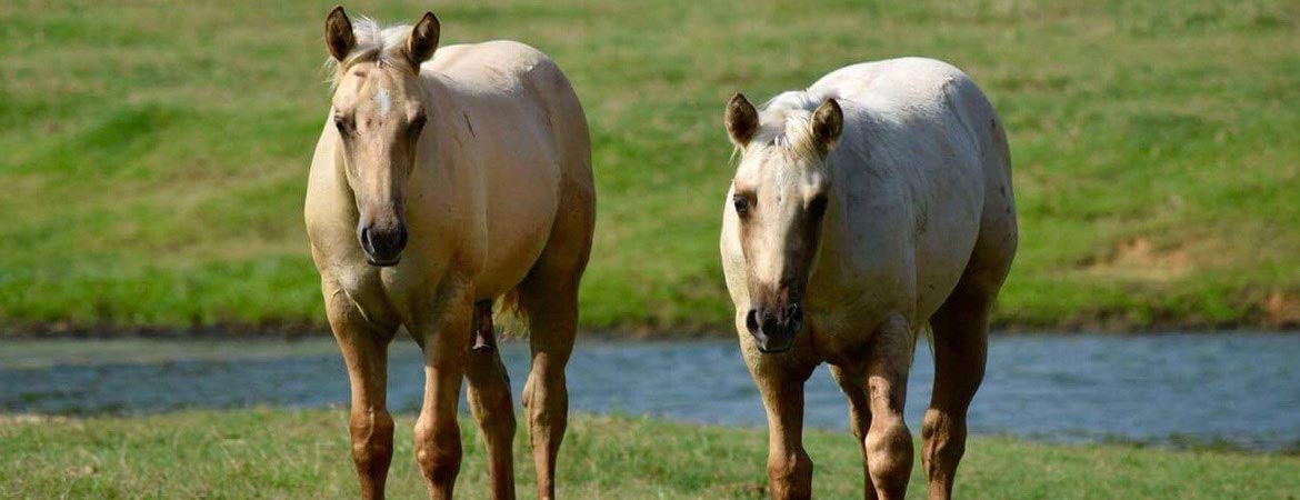 HumphreyQH-theranch-two-horses