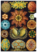 Ascidiae by Haeckel on this gorgeous letter-sized folder. for the science and natural lover. Renowned late 19th- and early 20th-century biologist Ernst Haeckel published more than 100 detailed, multicolor illustrations of animals in his Art Forms of Nature album. The overriding themes of his art are symmetry and organization, with images on each plate arranged for maximum impact. These intensely colored Ascidiae (sea squirts) positively glisten.