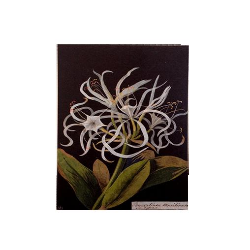 Pancratium Maritinum note card