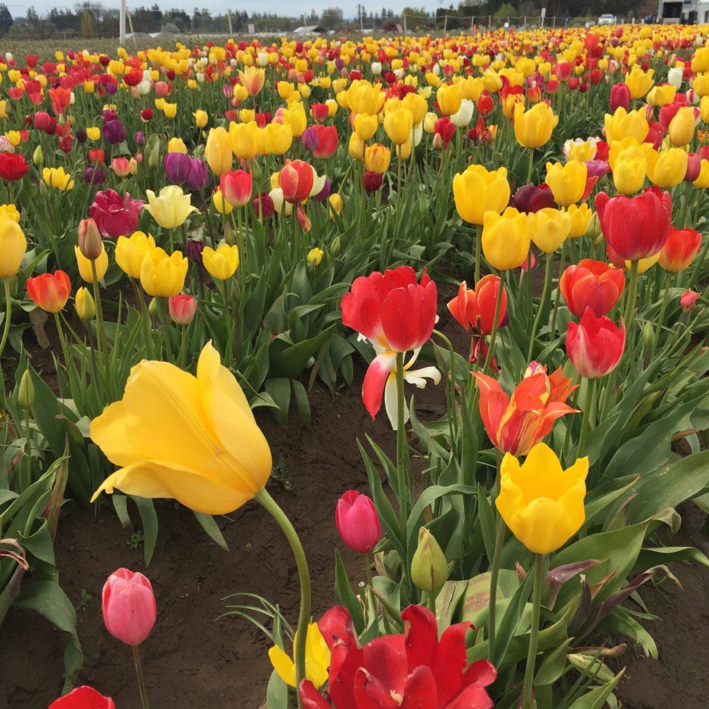 top-portland-attractions-wooden-shoe-tulip-farm