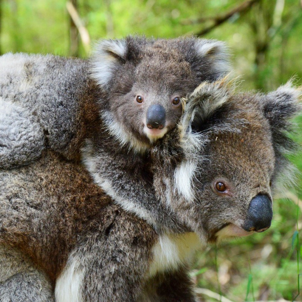 Koala Sydney Taronga Zoo