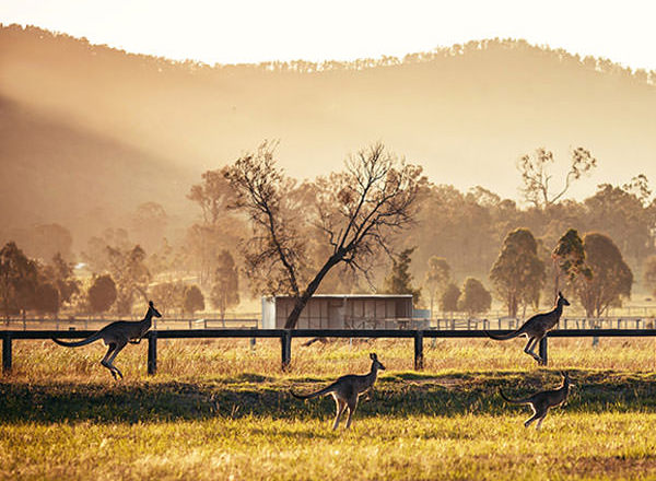 Image of kangaroos in dawn light on your Hunter Valley Private Tour