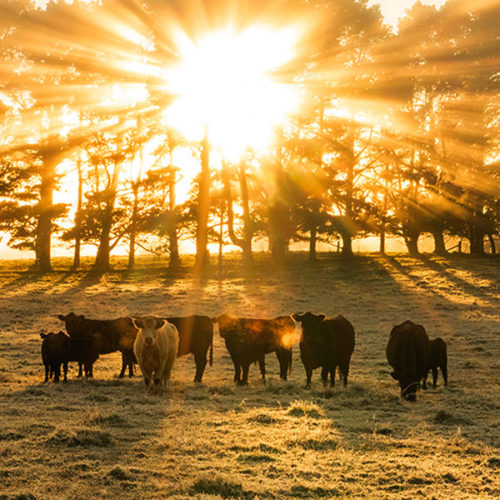 An image of sunrise at a cattle farm just south of Sydney as seen on your Southern Highlands tour