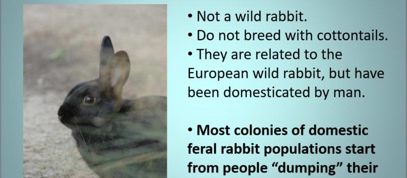 The Domestic Feral Bunny