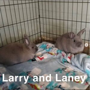 Vegas dumpsite bunnies Larry and Laney up for adoption