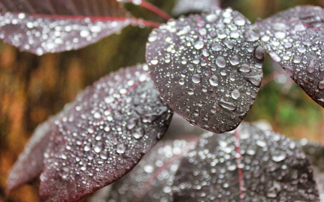 Rain on a Smoke Plant