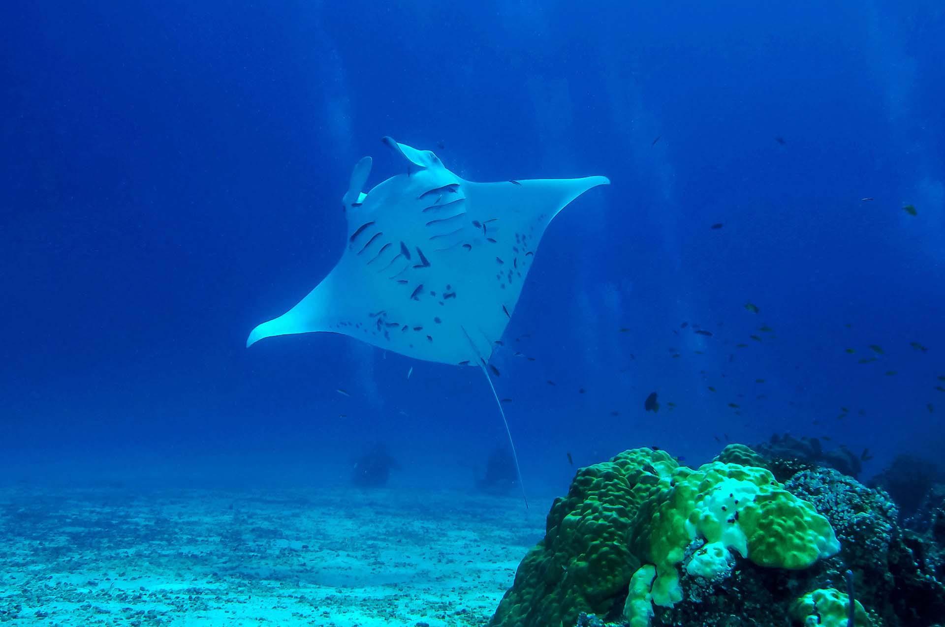 Embudu-Village-Dive-Manta-Dive