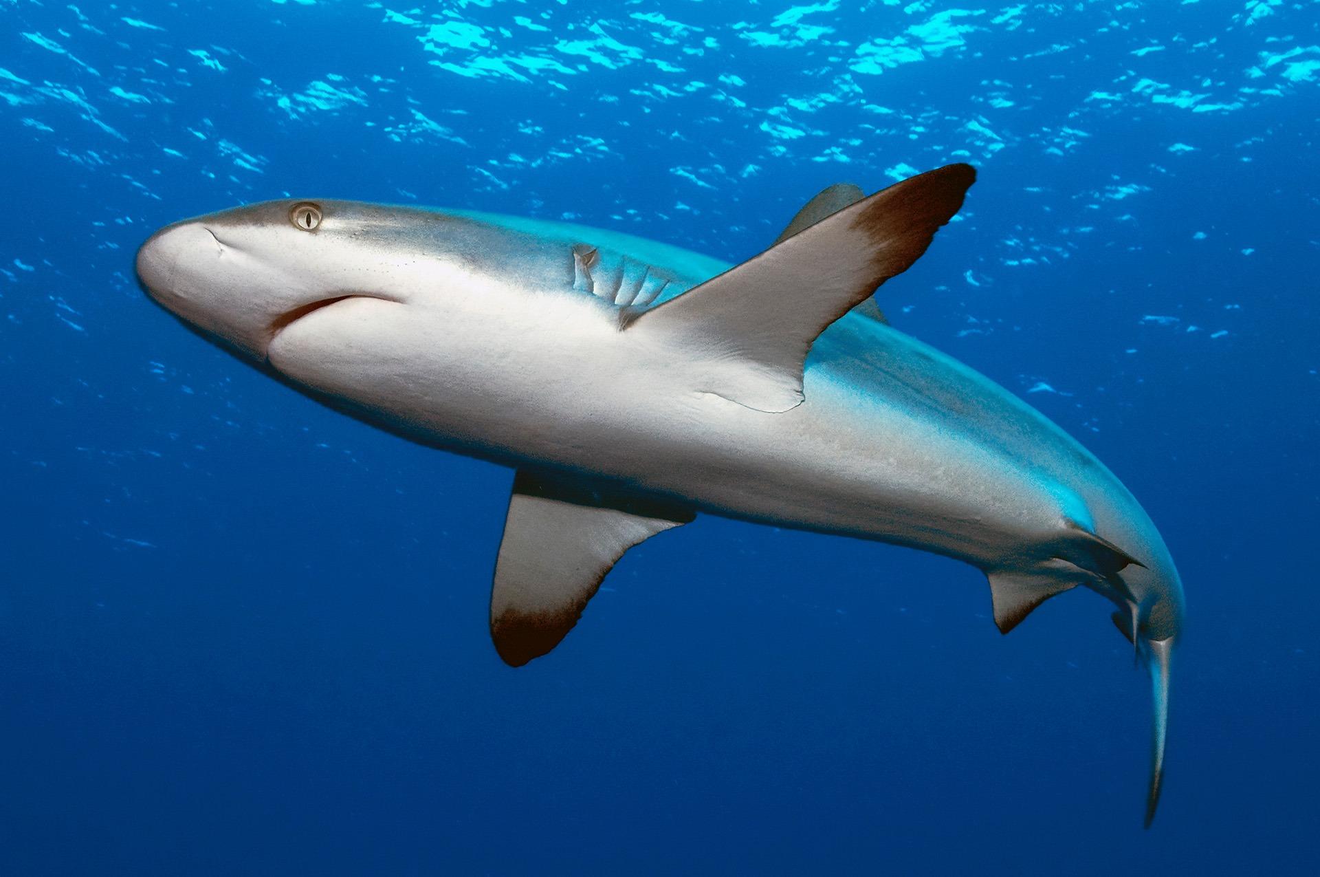 Embudu-Village-Reef-Shark