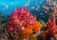 Soft Corals of Indonesia