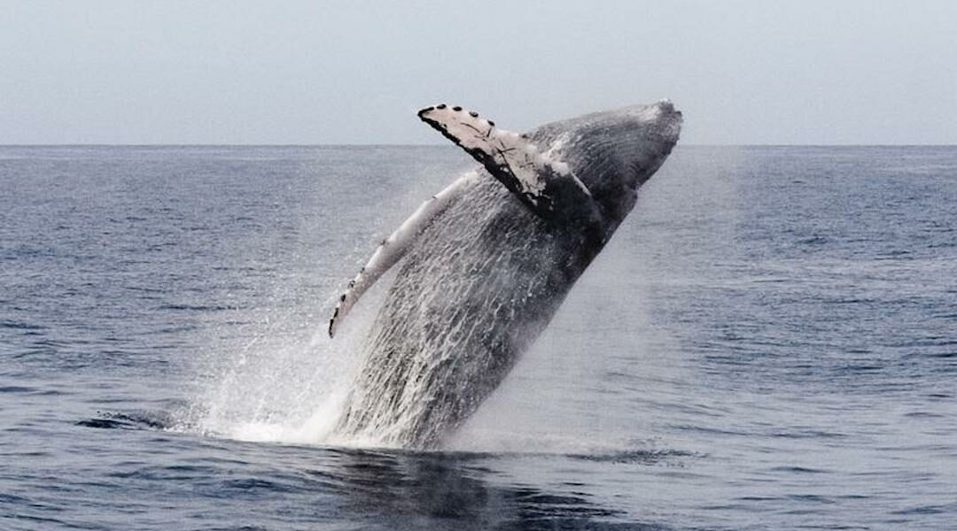Provincetown History Snippet: From Whaling to Whale-Watching