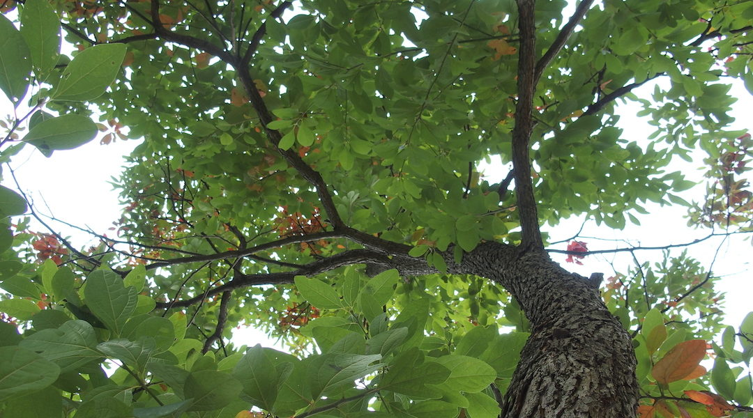 Provincetown History Snippets: Sassafras and Colonization