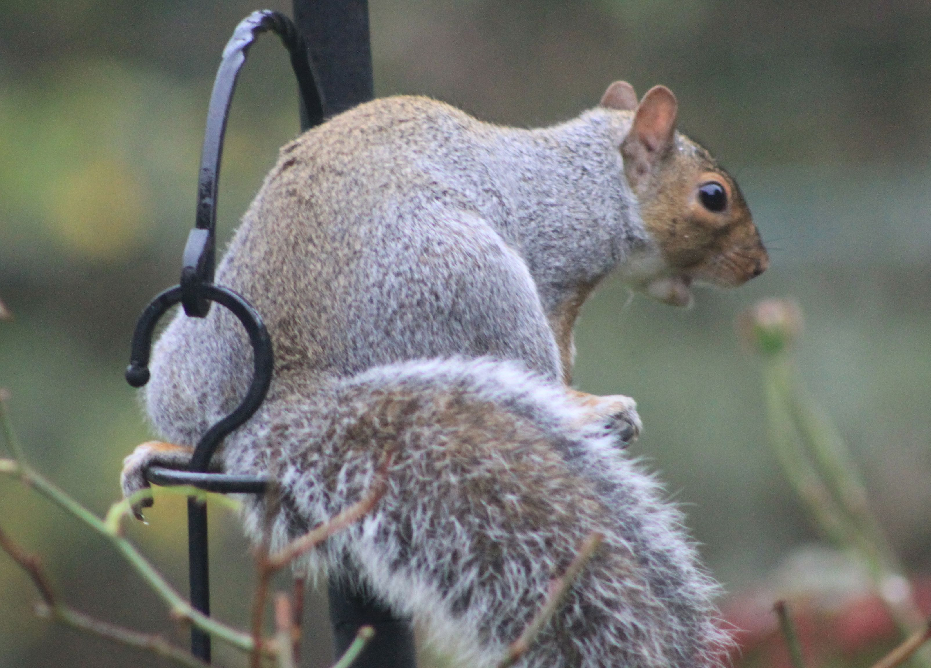 image of a startled squirrel