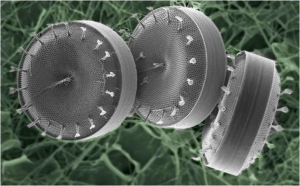Chain-forming diatoms from the genus Thalassiosira (Bigelow Labs)