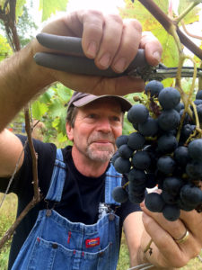 Mountain View Vineyard owner Randy Rice cutting grapes from the vine during the 2016 harvest.