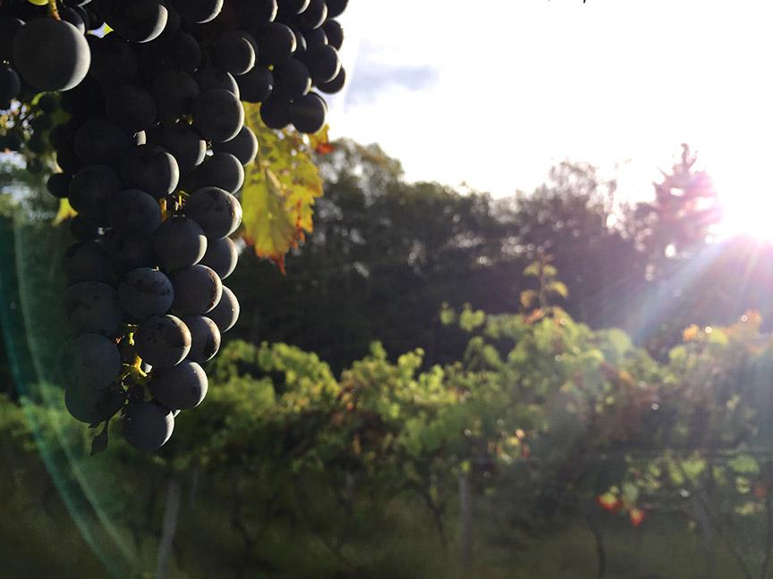 Pocono Vineyard