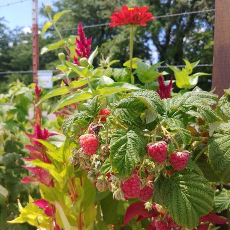 Raspberries in Garden