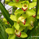 green-cymbidium-orchid-flower