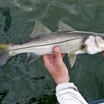 Florida Keys Snook