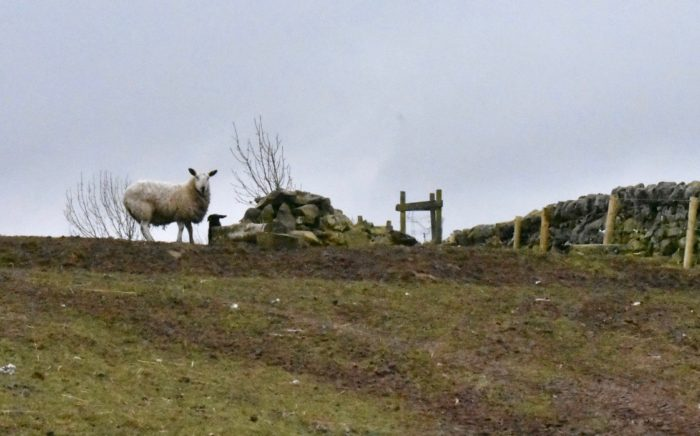Sheep and black lambs on the Pentland Hills