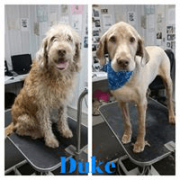 Pet Grooming_Before and After Grooming for dog Duke