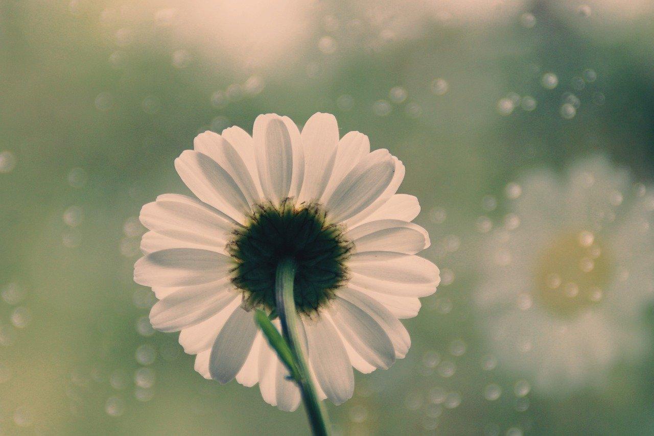 flower, marguerite, rain