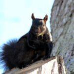 black2 150x150 - O esquilo preto de Ontário