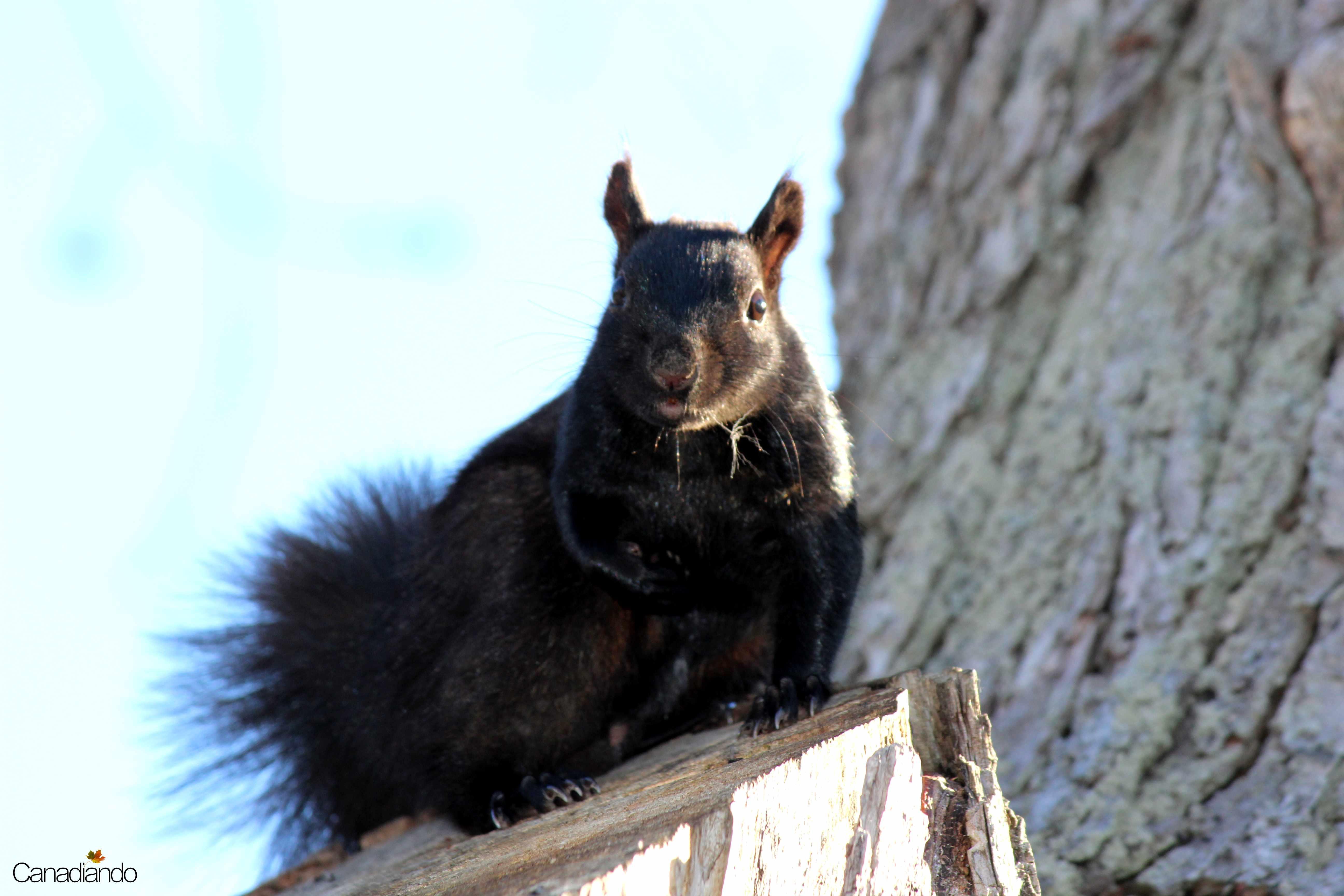 O esquilo preto de Ontário