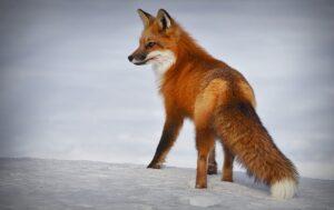fox 4893199 1280 300x189 - Biodiversidade: Você não imagina o que te espera no Canadá!