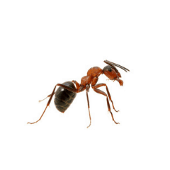 red ant up close on white background