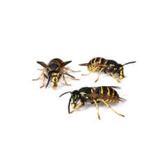 three hornets up close on white background